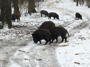 divlje svinje kamariste