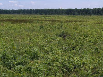 Obnovljena šuma hrasta sa podmlatkom u osmoj godini starosti